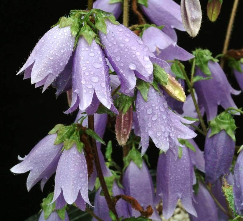Beautiful Purple Bellflower With Green Combination