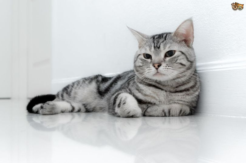 Beautiful White American Shorthair Cat Laying On Floor
