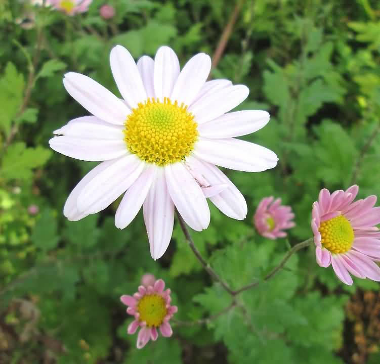 Beautiful White And Pink Aster Flower In One Plants Photo