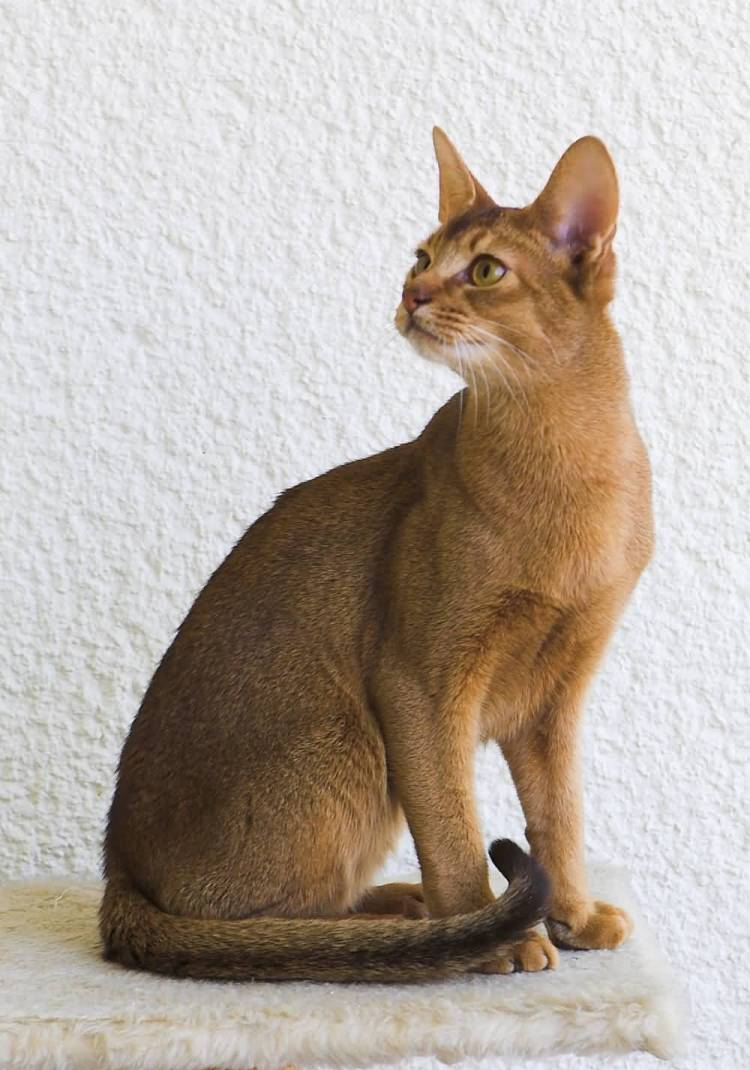Beautifull Brown Abyssinian Cats Looking For food