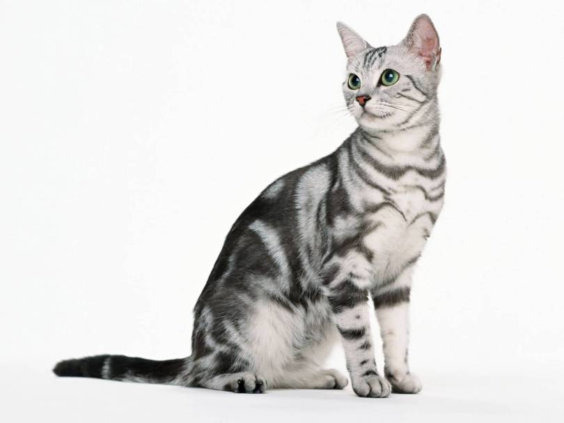 Beautifull Mix American Shorthair Cat With black or Green Eyes