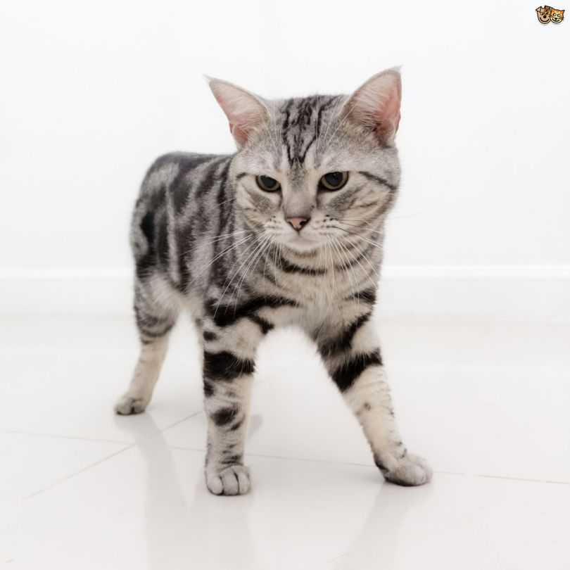 Beautiful Small And clever American Shorthair Cat Looking For Mouse