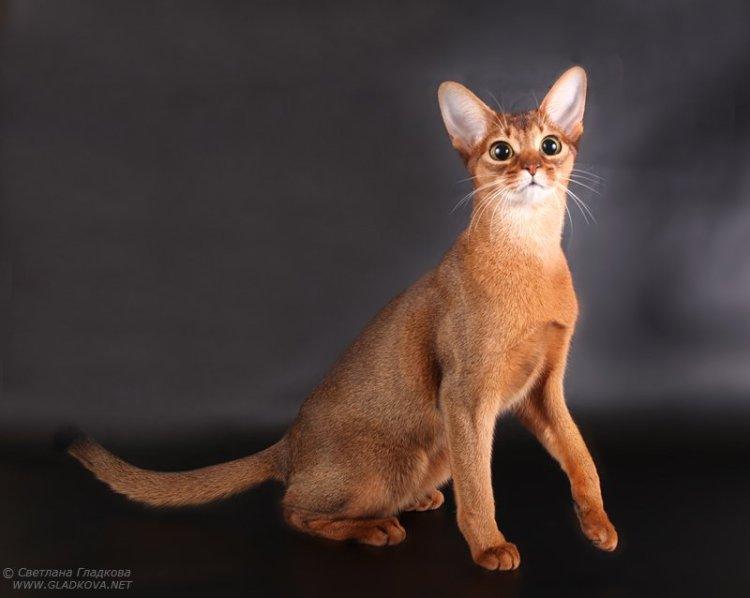 Beautifull brown Abyssinian Cats With Very nice eyes