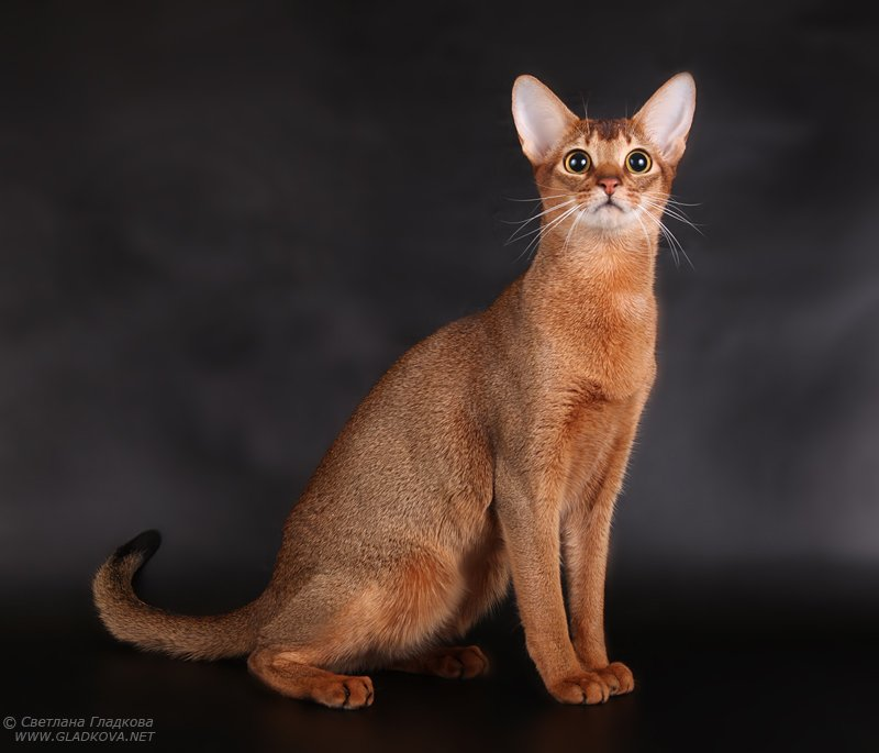 Best Adorable Red Abyssinian Cats Looking for food