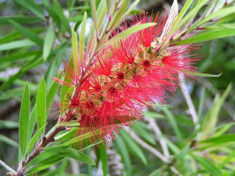 Best Bottle Brush Flower On Plant With Green Leafs