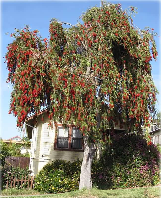 Best Bottle Brush Flower Tree For Wallpaper