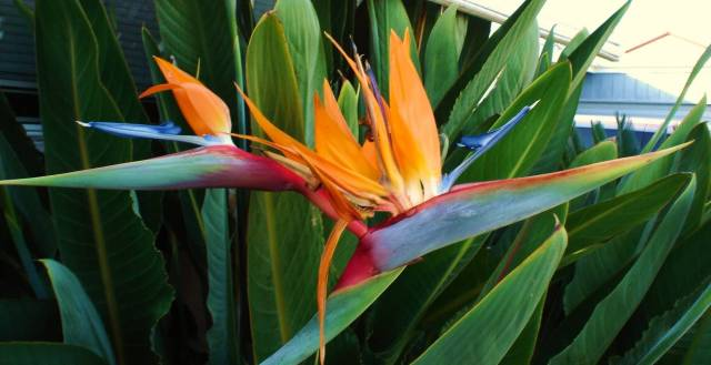Best Charming Bird Of Paradise Flower Plant With Green Leafs