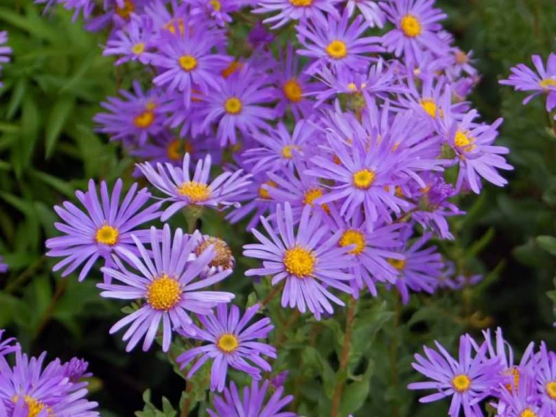Best Charming Blue Aster Flower With Green Leafs