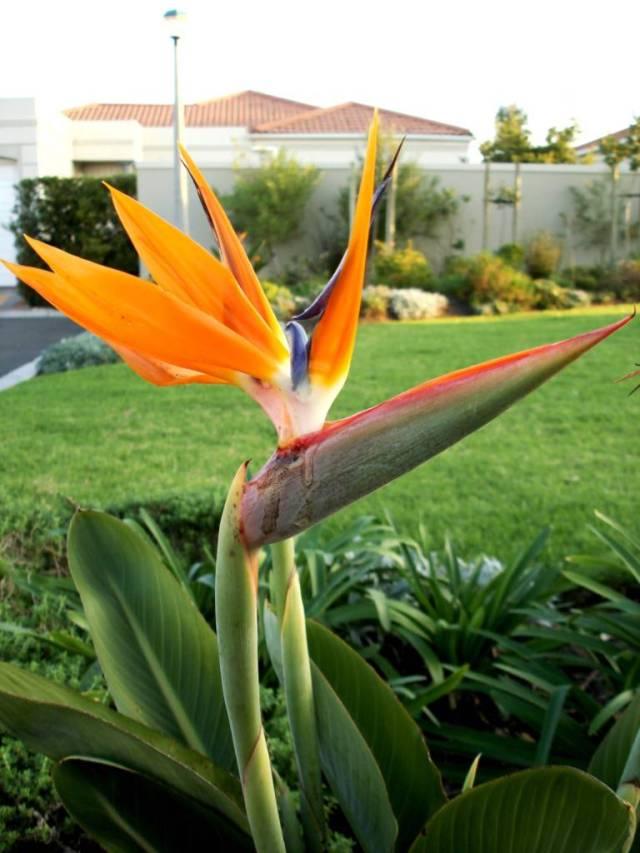 Best Charming Orange Bird Of Paradise Flower With Awesome Background