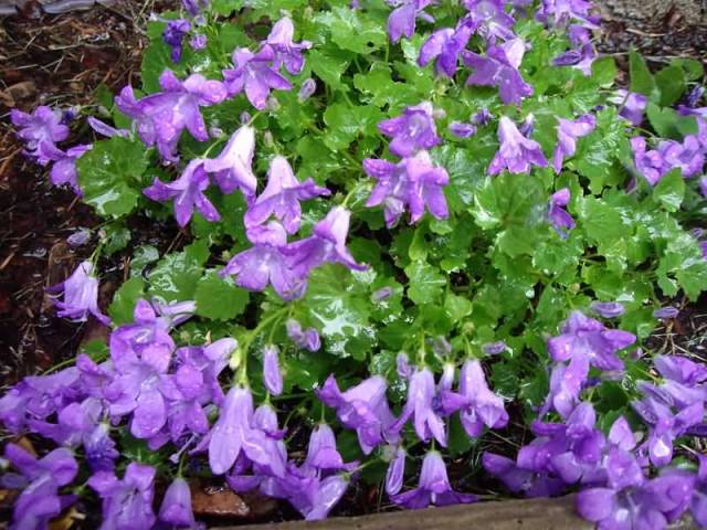 Best Charming Prrple Bellflowers With Green Leafs