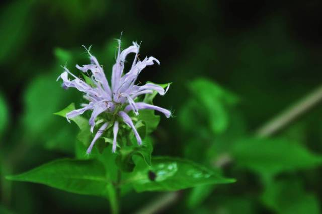 Best Charming Purple Bergamot Flower With Green Background