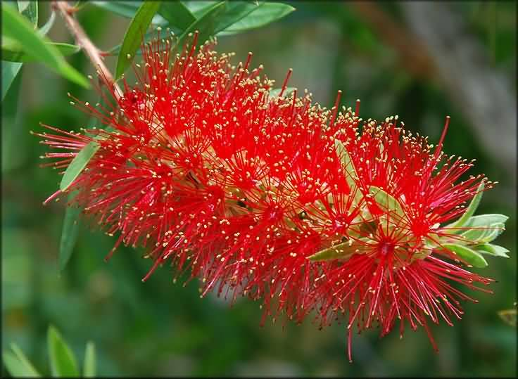 Best Charming Red Bottle Brush Flower With Green Leafs