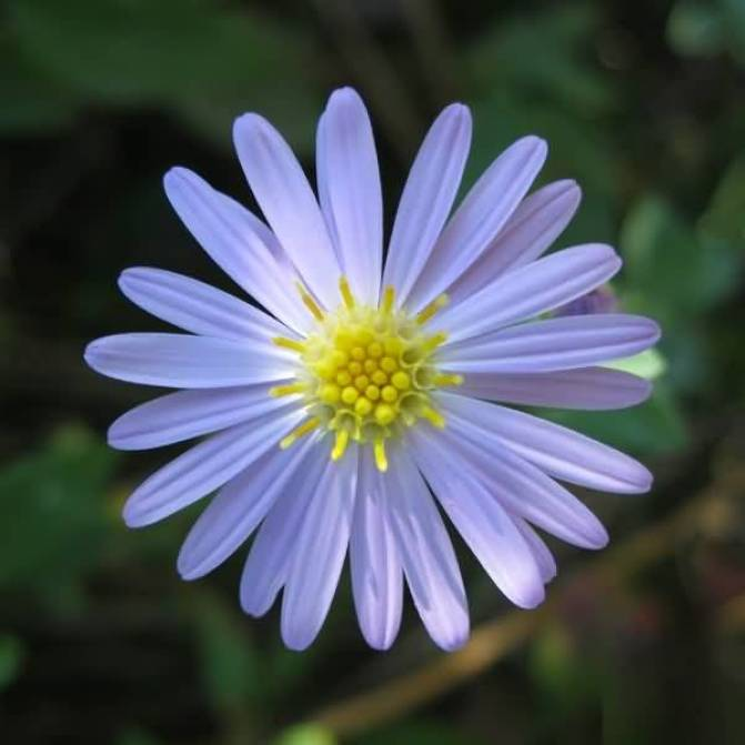 Best Light Blue Aster Flower With Center Yellow