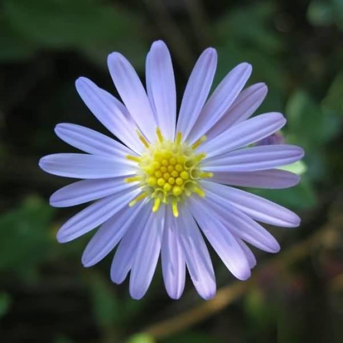 Best Light Blue Aster Flower With Center Yellow