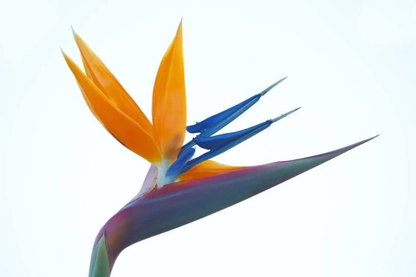 Best Orange And Blue Bird Of Paradise Flower Wallpaper