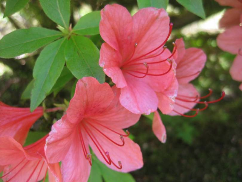 Best Pink Azalea Flower For Your Someone Special
