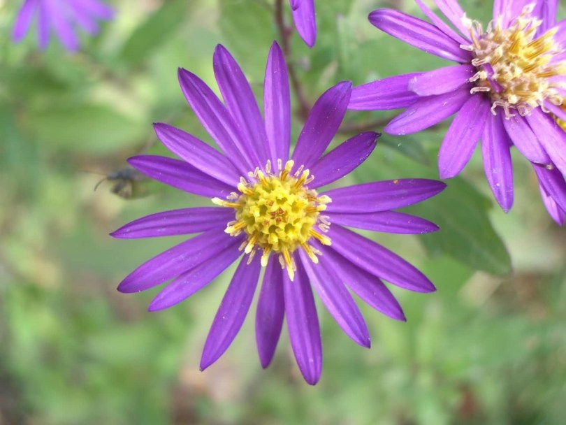 Best Purple Aster Flower With Yellow Center For Desktop