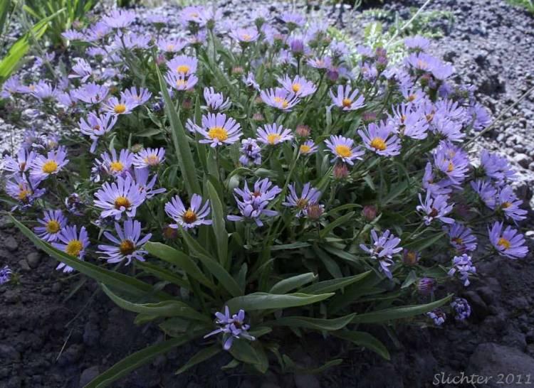 Best Wallpaper Of Blue Aster Flower Plants For Wedding Decoration