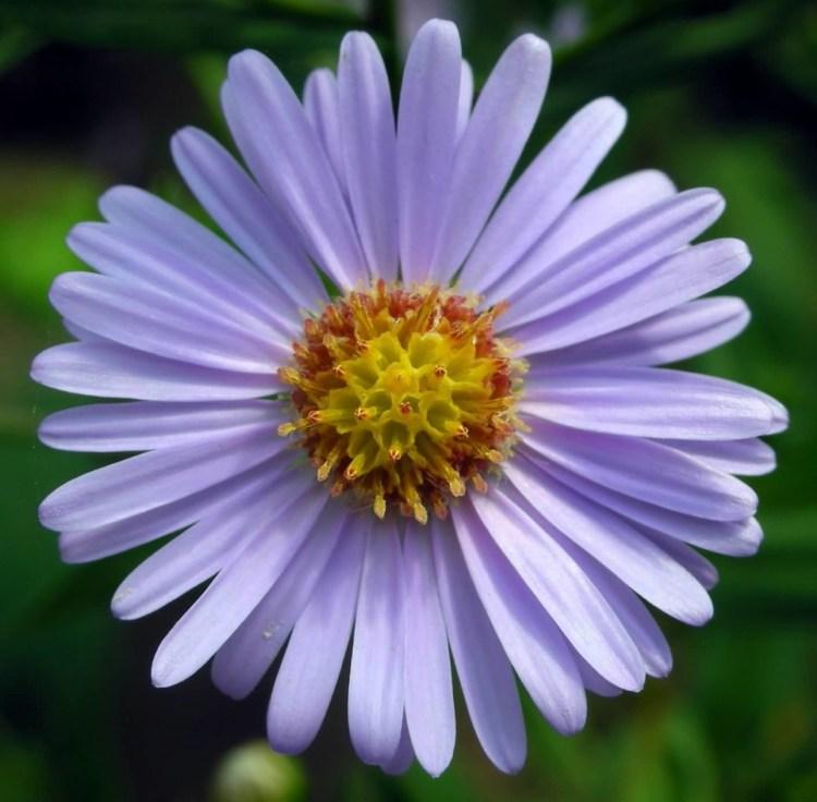 Best Wallpaper Of Purple Aster Flower For Decoration