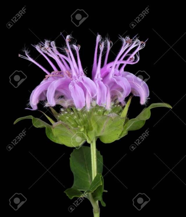 Best Wild Purple Bergamot Flower Plant With Green Leafs