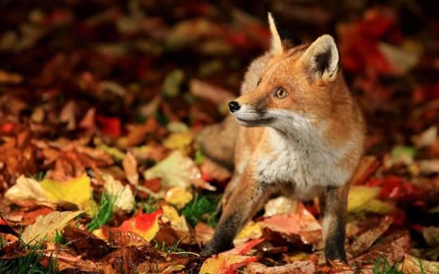 Brown Fox On Autumn Leaves Full Hd Wallpaper