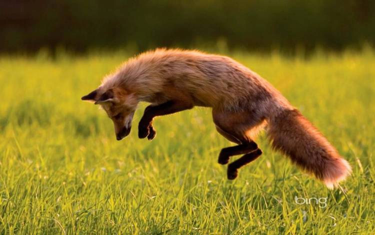 Brown Fox Playing The Wallpaper Of Bing