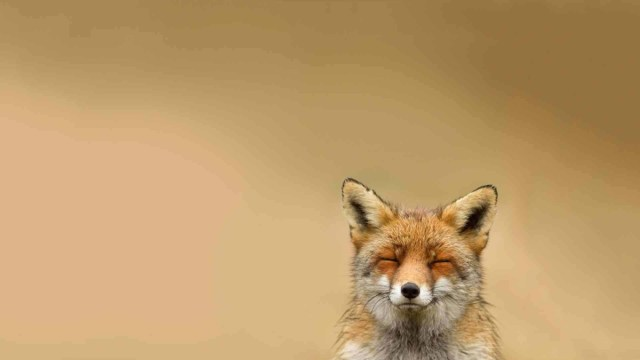 Brown Fox With Close Eyes Professionally Hd Wallpaper