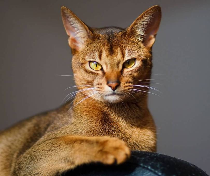 Charming Brown Abyssinian Cats With Amazing Eyes