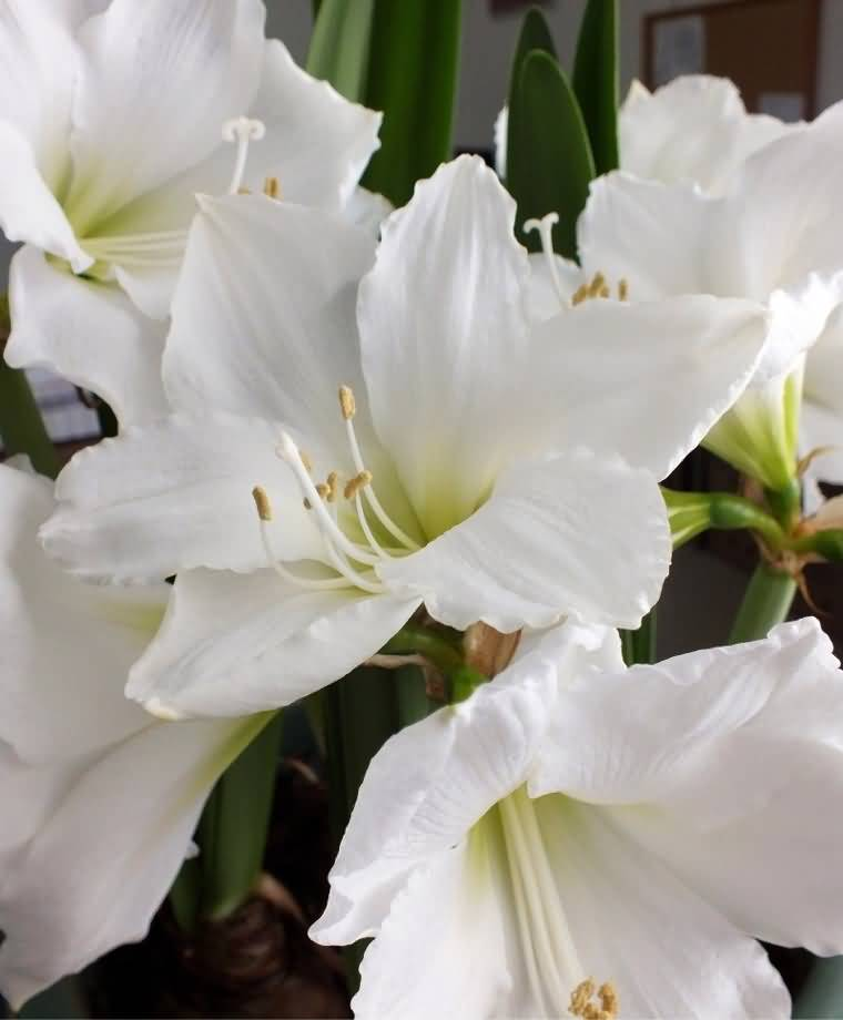 Charming White Amaryllis Flower For Home Decoration
