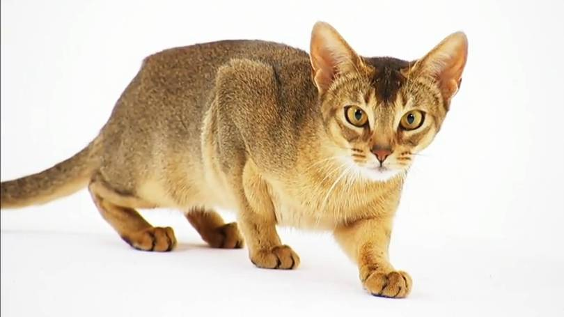 Clever Abyssinian Cats Going On Hunting for eat