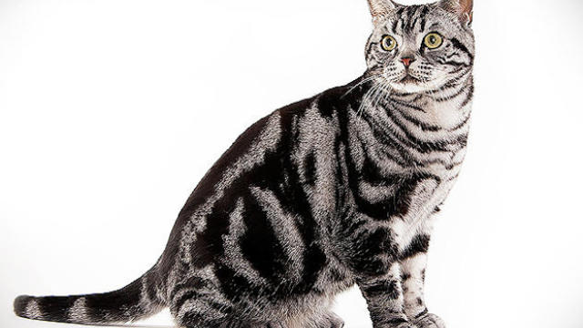 Clever Mix American Shorthair Cat Looking At widow