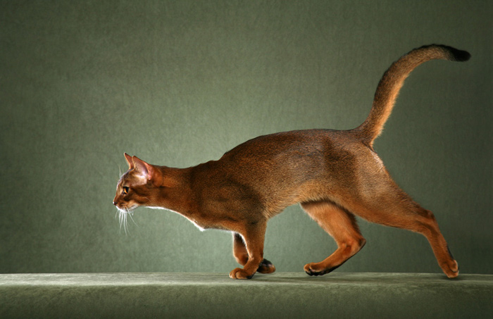 Clever Red Abyssinian Cats Running for food