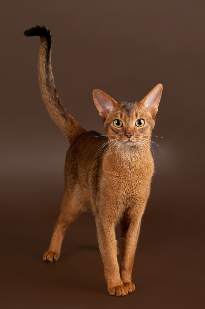 Clever brown Abyssinian Cats With wonderfull Tail And Eyes