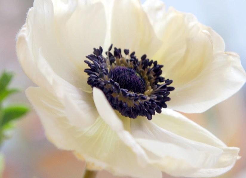 Close Up Best White Anemone Flower Wallpaper