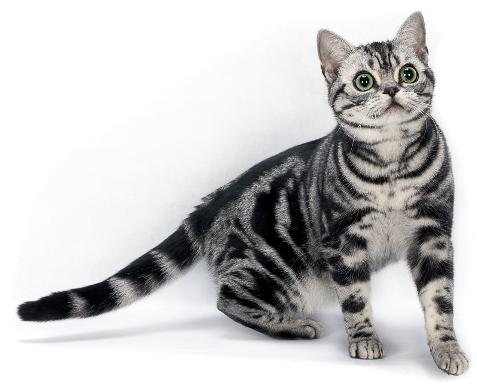 Cute American Shorthair Cat With Elegant very nice Eyes