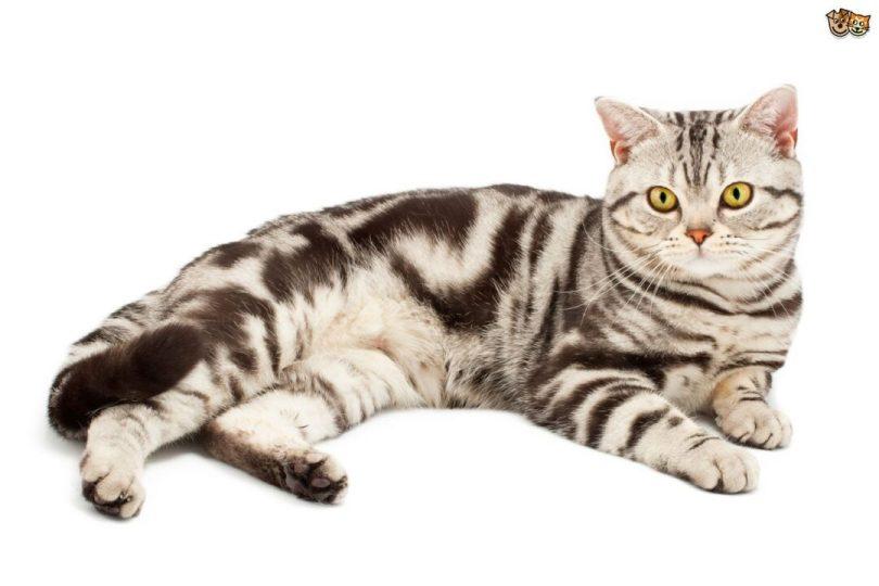 Cute American Shorthair Cat sitting On Floor American Shorthair