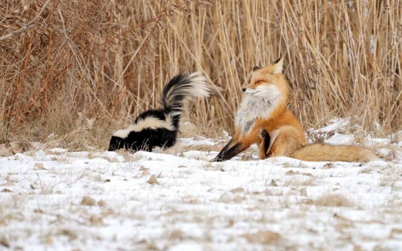 Cute Fox And Nice Squirrel In Snow Full Hd Wallpaper