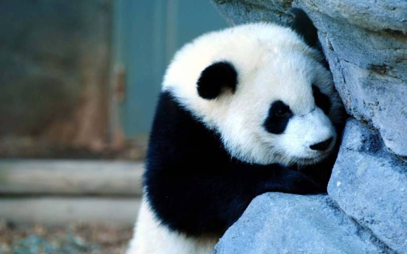 Cute Giant Panda Full Hd Wallpaper