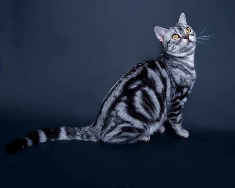 Cute Grey American Shorthair Cat Have Most beautifull Eyes