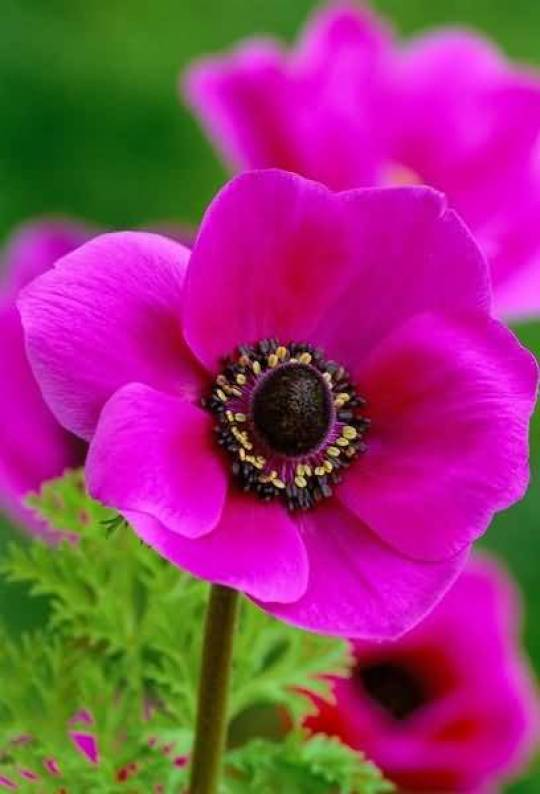 Decorative Pink Flower Anemone Plant With Green Background