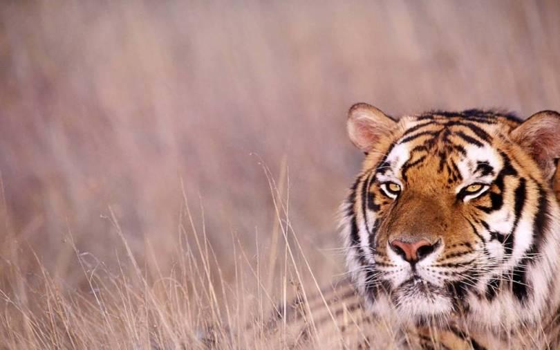 Dreadful Tiger face in Full HD Wallpaper