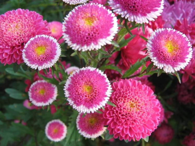 Eye Catching Pink Aster Flower Plant For Wedding Decoration