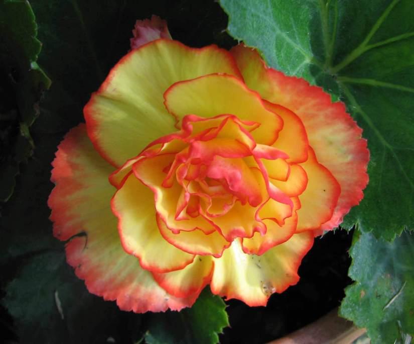 Fabulous Orange Begonia Flower For Wallpaper