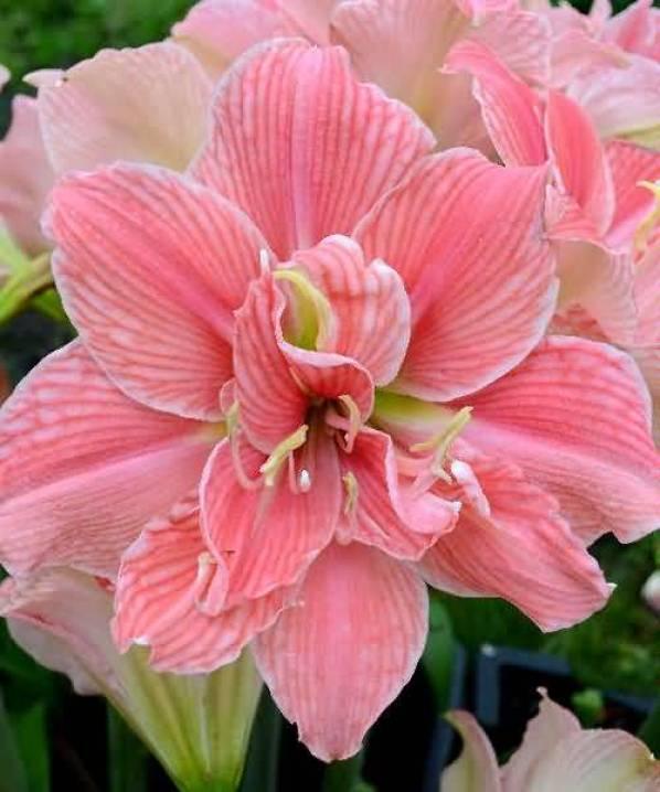 Fabulous Pink Amaryllis Flowers