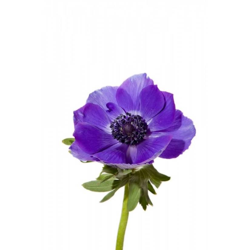 Fabulous Purple Flower Anemone Plant