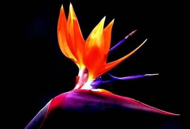 Fantastic Elegant Bird Of Paradise Flower Photo For Desktop