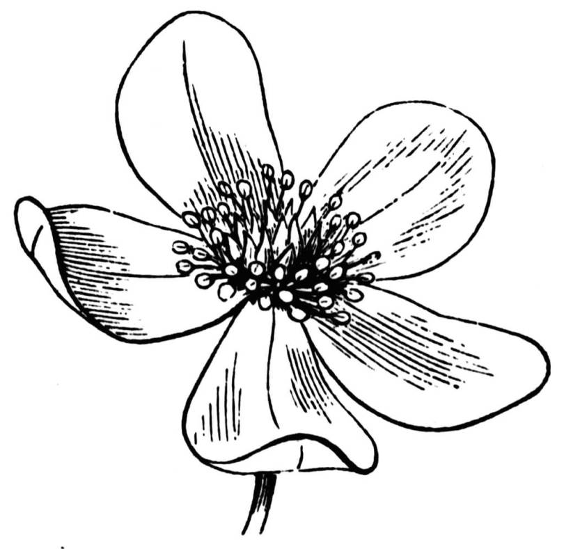 Fantastic Sketch Anemone Flower