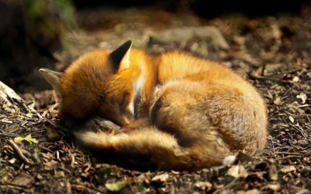 Fox Deeply Sleeping 4k Wonderful Fox Wallpaper