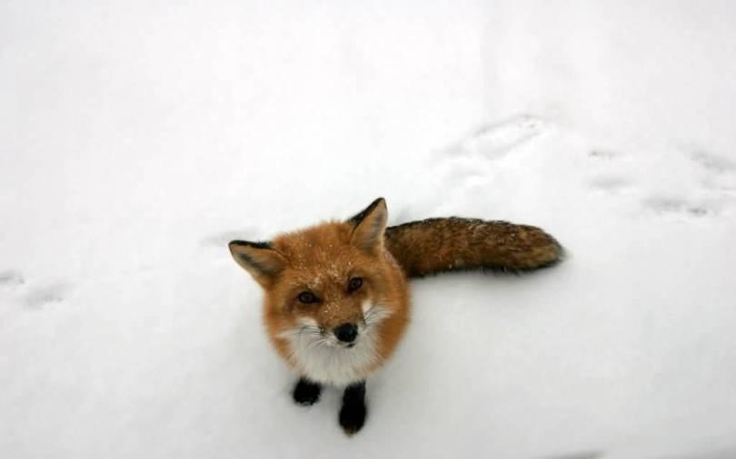 Great Wallpaper Of Wonderful Fox Standing On Ice Full Hd Wallpaper