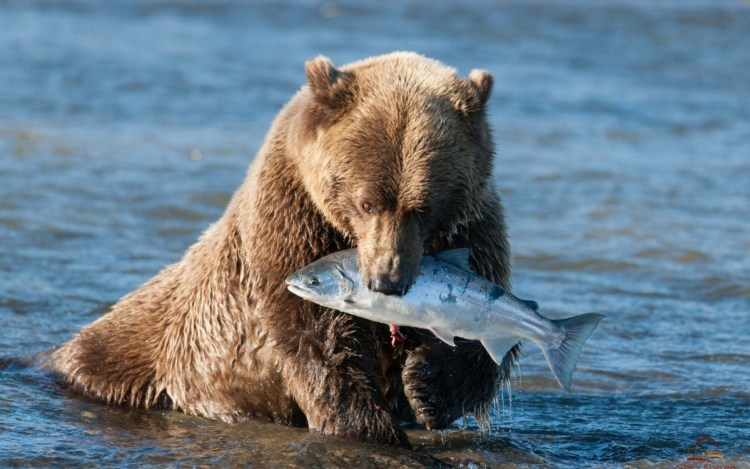 Grizzly Bear Clutching A Fish
